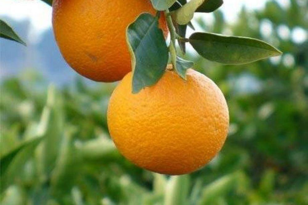 foto: Productores citrícolas advierten hemos bajado la competitividad