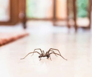 foto: Por qué no deberías matar a las arañas que viven en tu casa