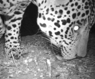 foto: Chaco: Registraron imágenes de un yaguareté en un parque nacional