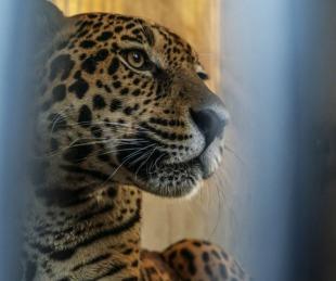 foto: Jatobazinho, el yaguareté brasileño que se suma a los Esteros del Iberá
