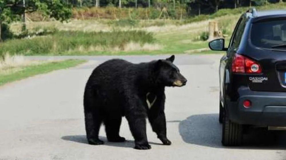 foto: Oso chorro quiso robarse un auto y quedó filmado