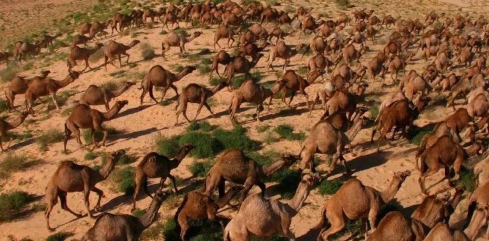 foto: Sacrificaron 5.000 camellos en Australia para ahorrar agua