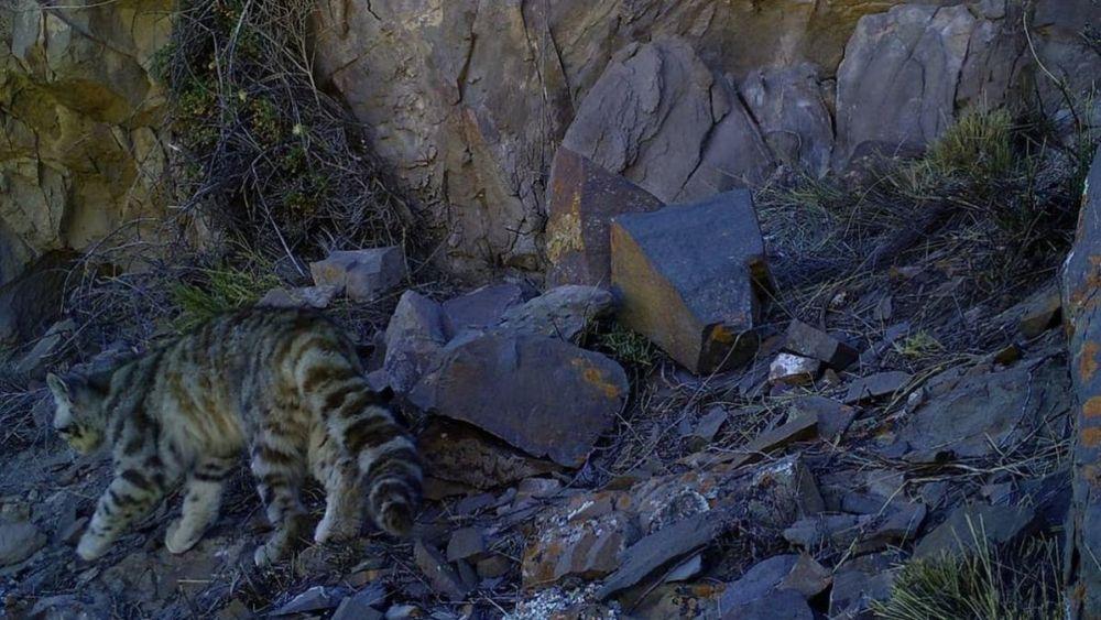 Reapareció el gato andino, un animal en peligro de extinción