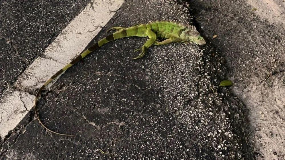 foto: Impactante lluvia de iguanas en Miami