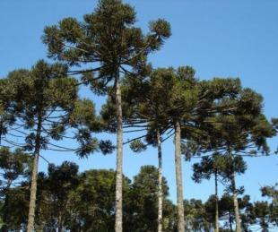 foto: Preocupa a investigadores el proceso de extinción del Pino Paraná