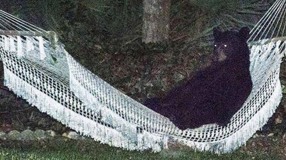 foto: EE.UU.: insólitas imágenes de un oso acostado en una hamaca