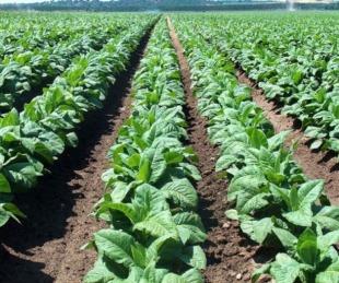 foto: Tabacaleros recibirán los 100 millones de la Caja Verde