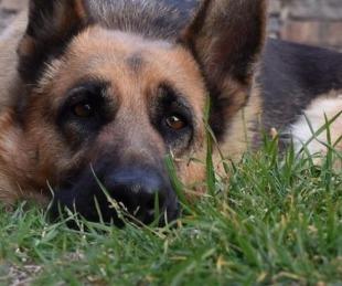 foto: Coronavirus: un ovejero alemán, el primer perro contagiado en EE.UU