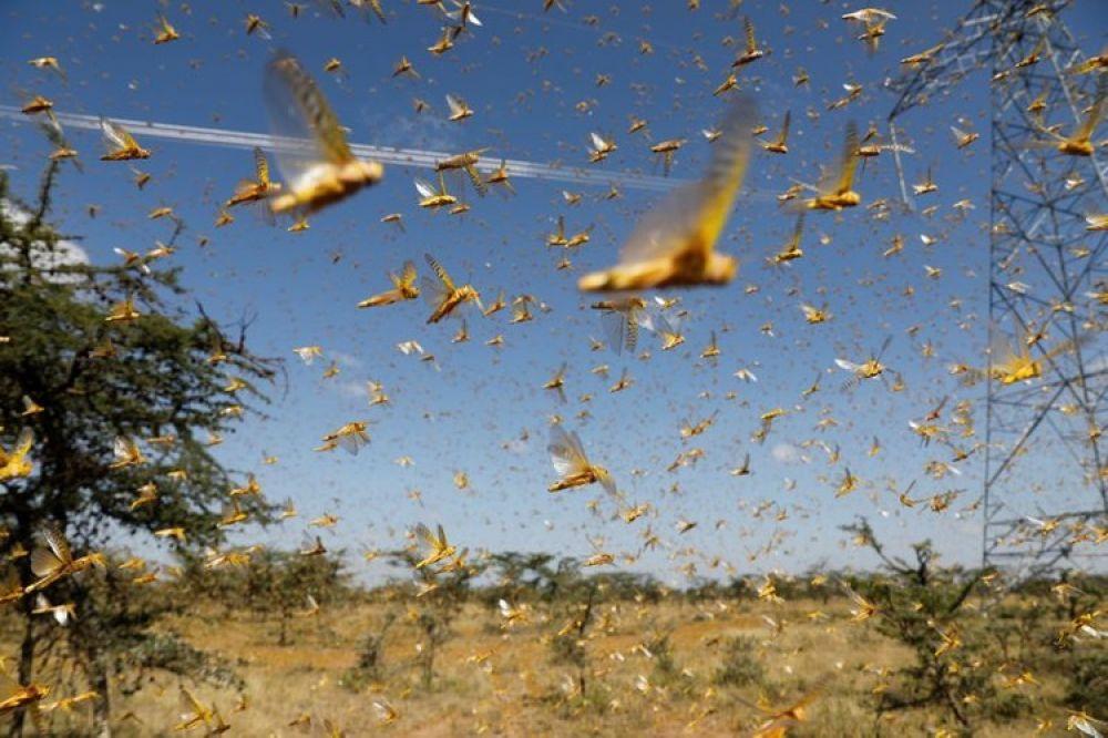 foto: La Nación busca controlar con aviones la plaga de langostas
