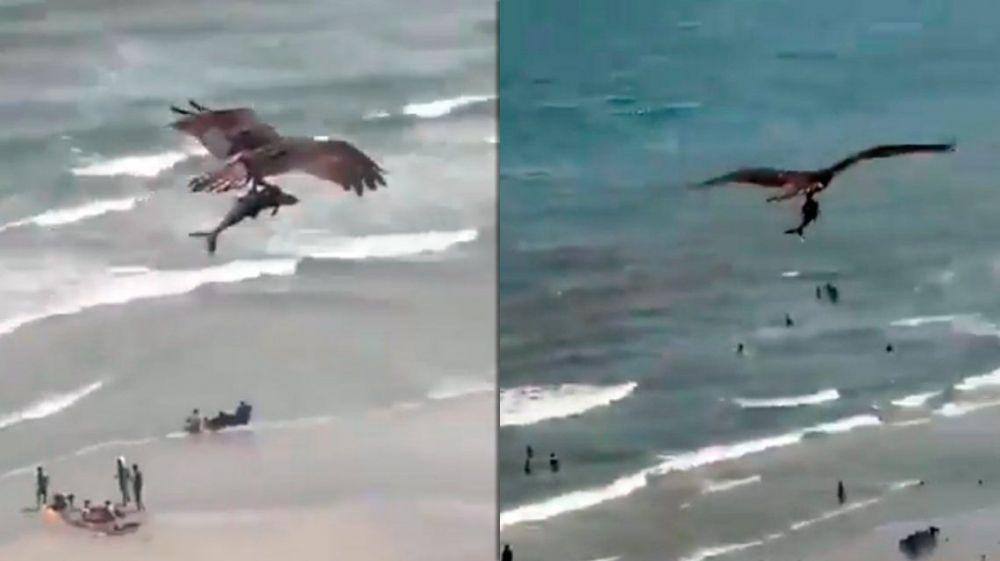 Un águila cazó un tiburón y conmocionó a toda una playa en EE.UU.