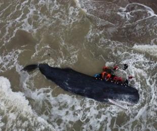 foto: Murió un cachalote de 16 metros en las costas de Mar del Plata