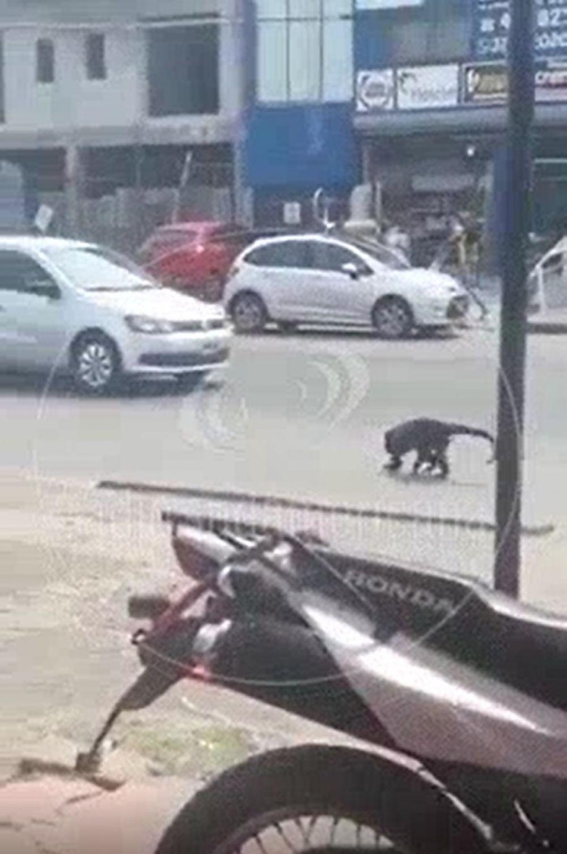 Un mono apareció deambulando por una zona comercial de la capital