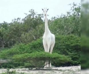 foto: Encontraron a la única jirafa blanca que queda en el planeta