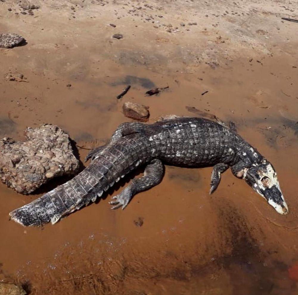 Dolorosa imagen: hallaron un yacaré muerto de un machetazo