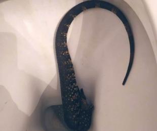 foto: ¡Que susto! se encontró con un lagarto en el inodoro de su casa