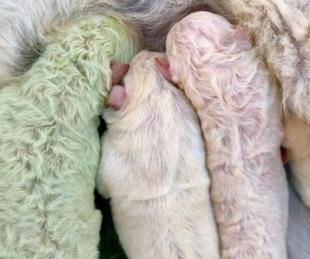 foto: Nació un perro verde en Italia