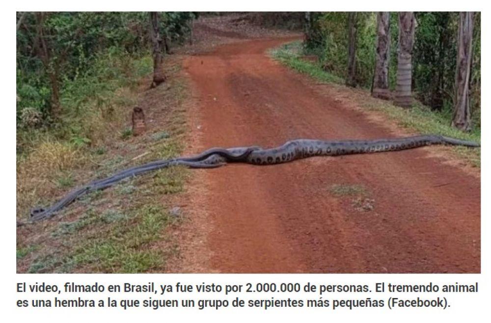 Una anaconda de 6 metros guía en una ruta a un grupo de serpientes