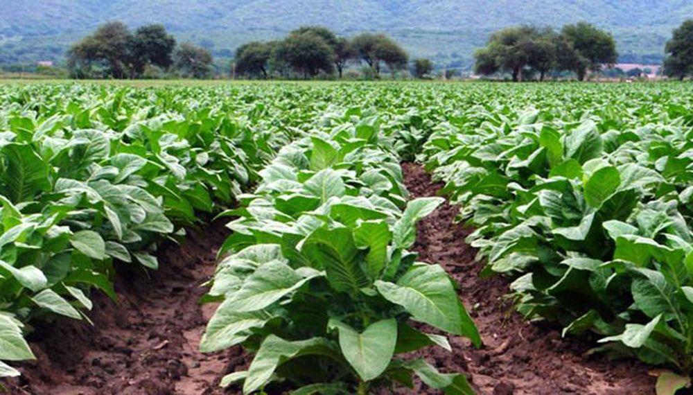 Nación transfirió un total de $237 millones para el sector tabacalero