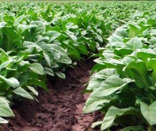 foto: Nación transfirió un total de $237 millones para el sector tabacalero