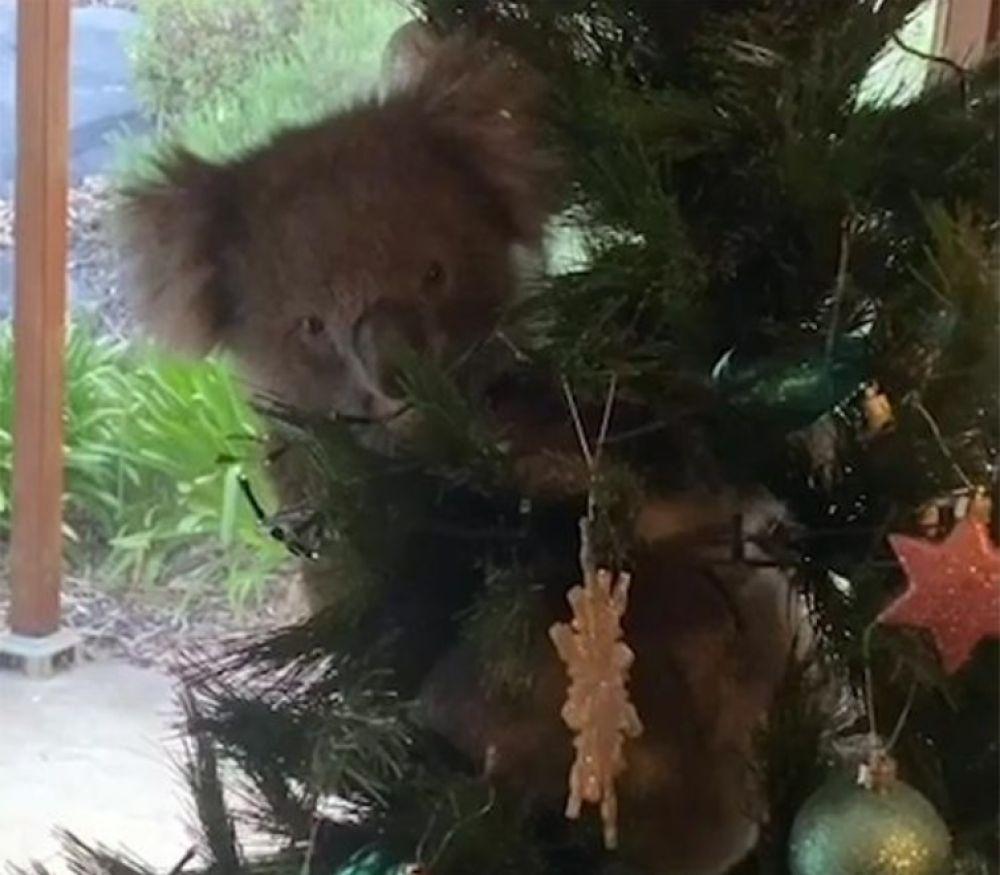 Familia encontró una koala trepada en su árbol de navidad