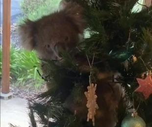 foto: Familia encontró una koala trepada en su árbol de navidad