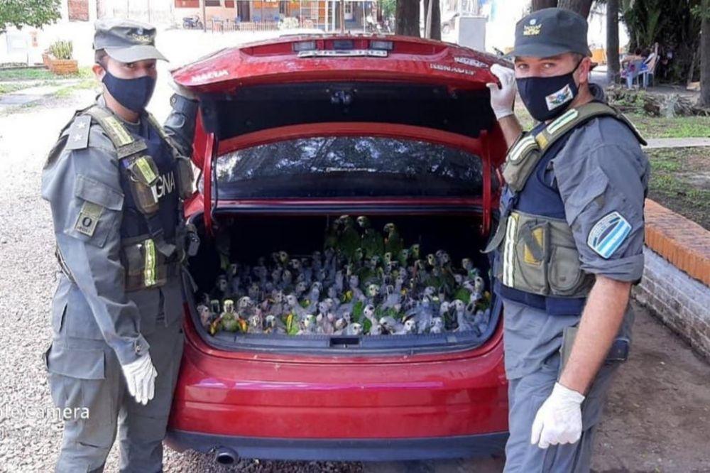 Increíble: llevaban de contrabando 216 loros en el baúl de un auto