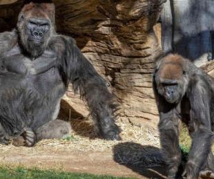 foto: Al menos dos gorilas de un zoológico de Estados Unidos dieron positivo de Covid