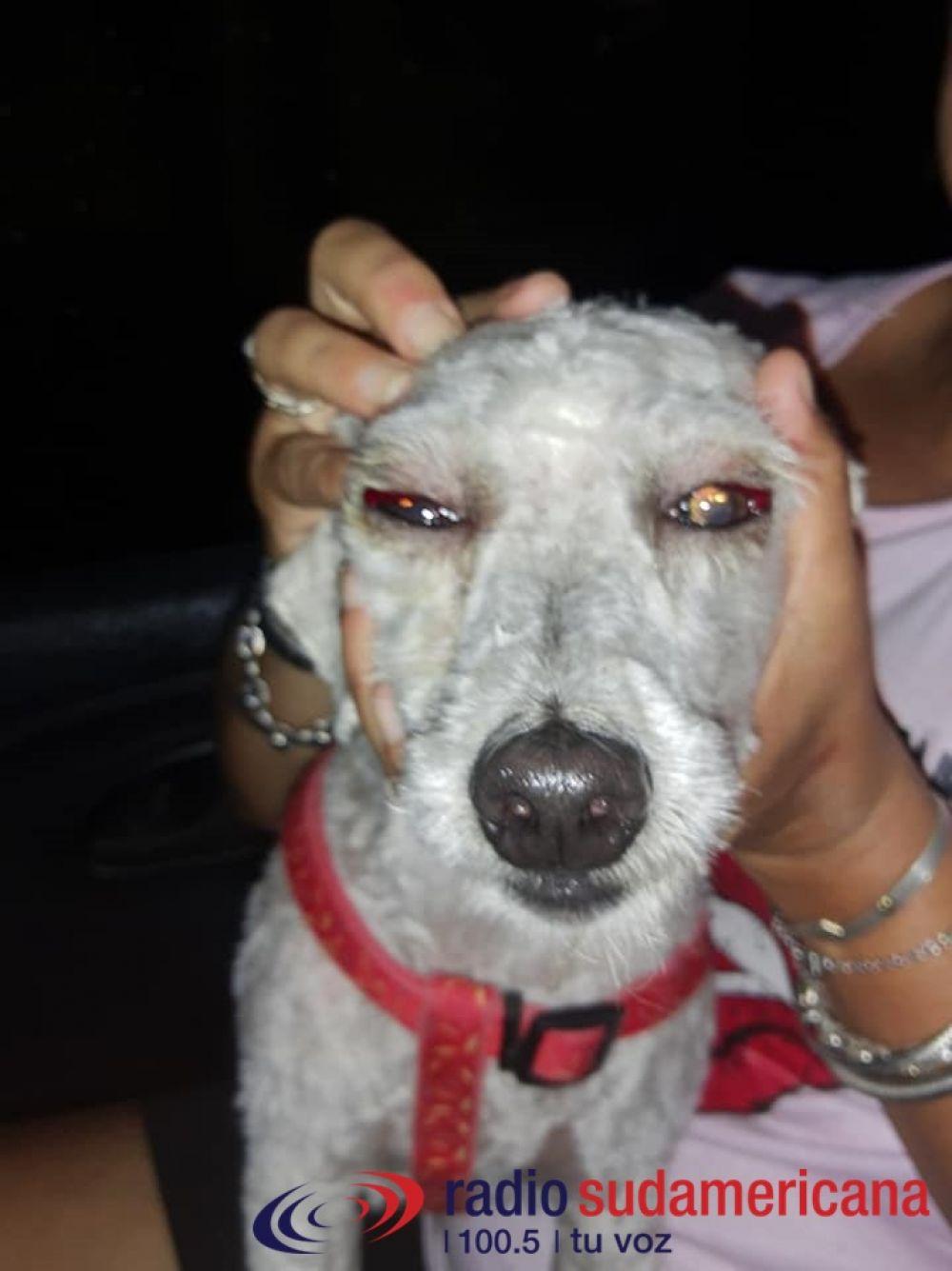Denuncian a una peluquería: Me devolvieron a mi perro con los ojos en sangre