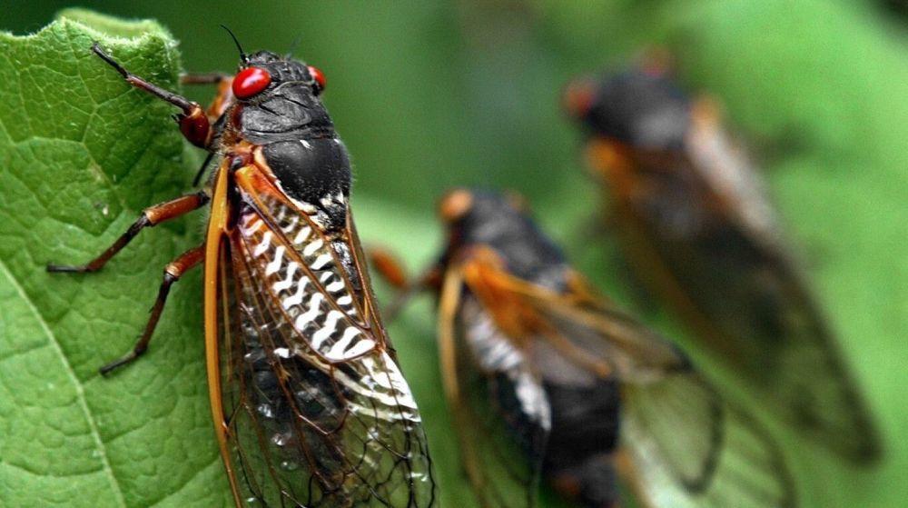 EEUU se prepara para invasión de un insecto que pasó 17 años bajo tierra