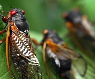 foto: EEUU se prepara para invasión de un insecto que pasó 17 años bajo tierra
