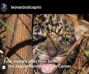 foto: Leonardo Di Caprio destacó la reintroducción del Yaguareté en el Iberá