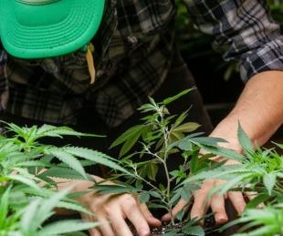 foto: El Ministerio de Salud aprobó el proyecto de cultivo de cannabis