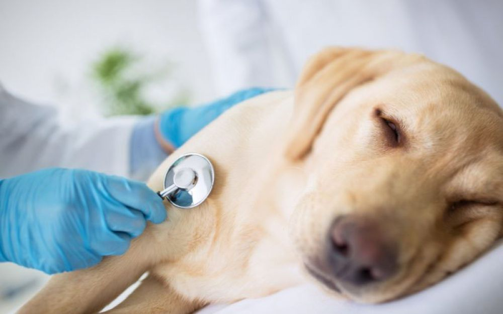 Descubren un gusano que se mete en el corazón de los perros