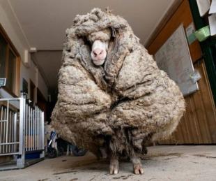 foto: Baarack, la impresionante oveja salvaje con 35 kilos de lana