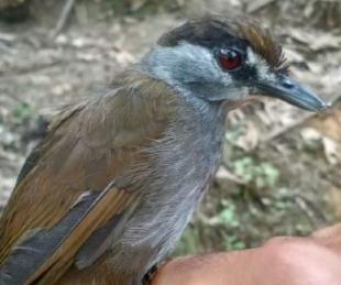 foto: Indonesia: redescubren un ave que creían extinta hace más de 170 años