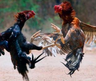 foto: Un gallo mató a su dueño tras una pelea ilegal
