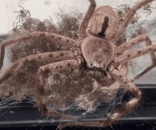 Mujer ayudó a araña gigante a dar a luz a 200 crías y las adoptó