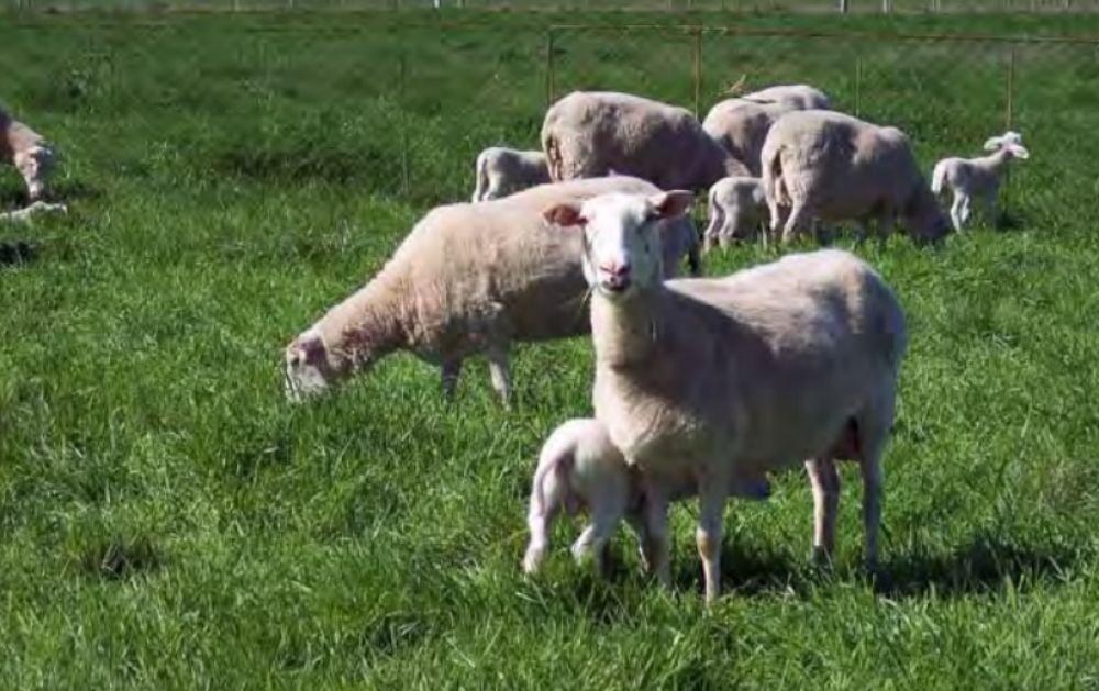 Rebaño de ovejas hace misteriosa forma de nave extraterrestre