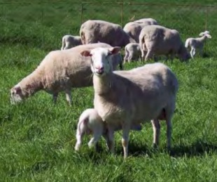 foto: Rebaño de ovejas hace misteriosa forma de nave extraterrestre