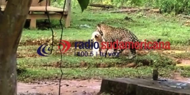 Horror: El momento en el que un Leopardo se lleva un caniche