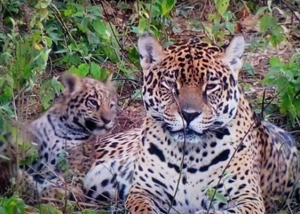 Liberaron a una segunda familia de yaguaretés en el Parque Iberá