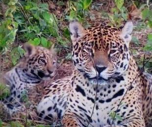 foto: Liberaron a una segunda familia de yaguaretés en el Parque Iberá
