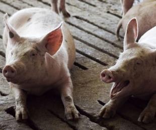 foto: Córdoba: más de 100 cerdos a faena por triquinosis