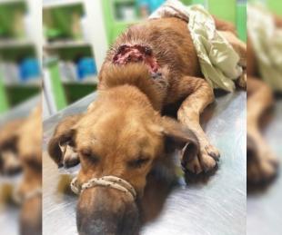 foto: Rescataron un perrito repleto de gusanos y necesitan ayuda