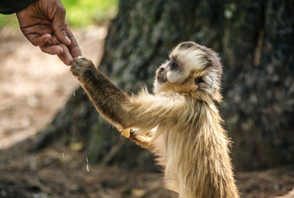 Buscan declarar a los monos carayá como monumento natural