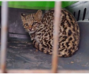 foto: Misiones: rescatan a un gato silvestre de una vivienda familiar