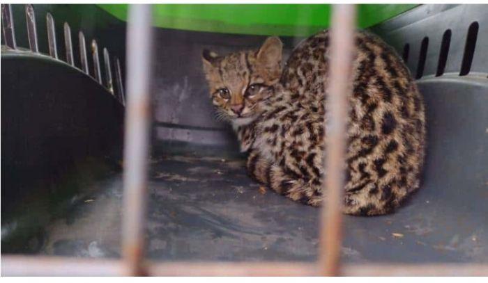 Misiones: rescatan a un gato silvestre de una vivienda familiar
