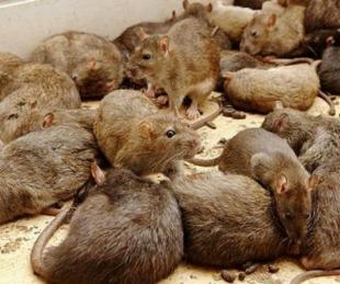 foto: Multitud de ratones invade los campos de Australia
