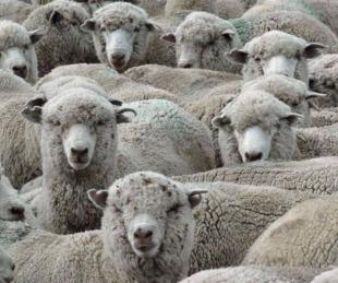 foto: El Senado dio media sanción por la Ley Ovina