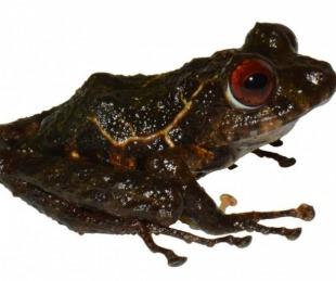 foto: Bautizaron a una nueva especie de rana